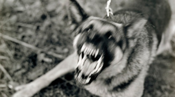 Angry, Barking German Shepherd