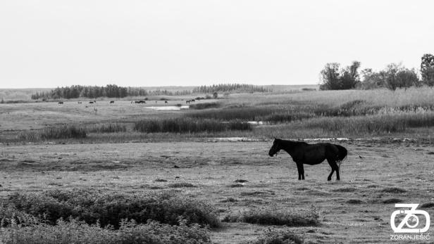 zoran-jesic-jesic-novi-sad-vojvodina-srbija-foto-photo-kovilj-rit-konj